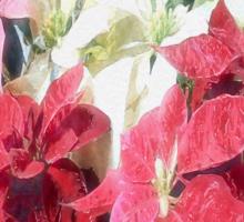 Mixed color Poinsettias 3 Watercolor Sticker