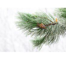 Icy pine Photographic Print