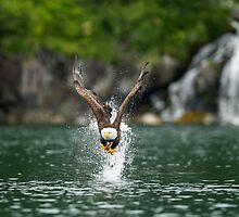 Bald Eagle The Big Catch by TedRaynorPhotos