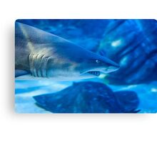 Blue Shark Canvas Print