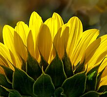 Mississinewa Sunflower Abstract by Mother Nature  by Lee Craig
