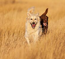Dogs Running at Golden Hour by Brenda Carson