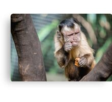 Cute Capuchin Monkey III Canvas Print