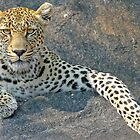 A posing leopard on a rock by jozi1