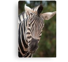 Curious Zebra Canvas Print