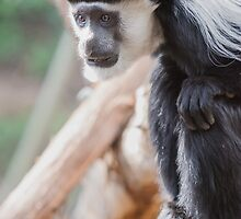 Cute Colobus by Ray Warren