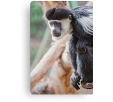 Cute Colobus Canvas Print