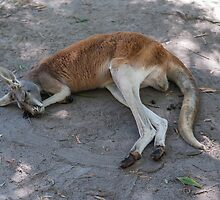 Sleeping Kangaroo by Ray Warren