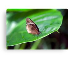 Brown Butterfly II Canvas Print