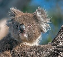 Cute Koala II by Ray Warren