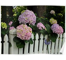 Hydrangea Over The Fence Poster