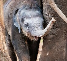 Baby Elephant by Ray Warren