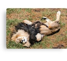 Just Lion Down Canvas Print