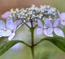 Lace Hydrangea by Dianne English