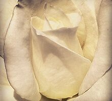Close-up of a Rose by mellsie86