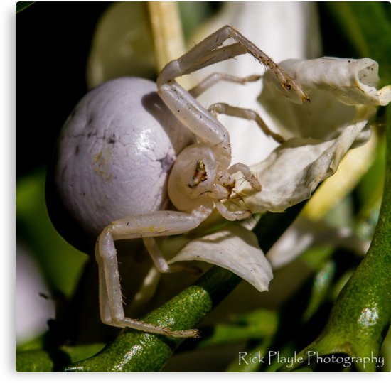 Little white Spider by Rick Playle