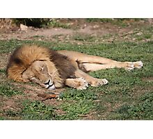 Napping Lion Photographic Print