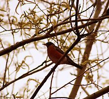 American Robin in a Tree in Spring by rhamm