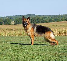 Queena German Shepherd by Sandy Keeton
