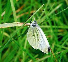 Butterfly in a meadow by Brevis