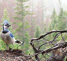 Blue Jay 1 by nerdywithnature
