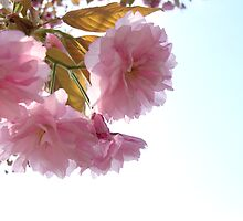 Japanese Cherryblossoms  by Brevis