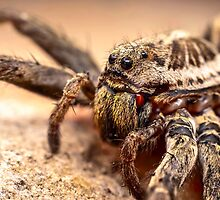 Wolf spider by viktori-art