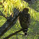 Red Shouldered Hawk, I Think by Navigator