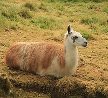 Sitting Alpaca by Jonathan Lynch
