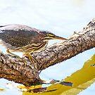 Green Heron by Nancy Barrett