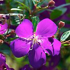 Tibouchina by Renee Hubbard Fine Art Photography