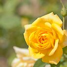 Glorious Yellow Rose by jayneeldred
