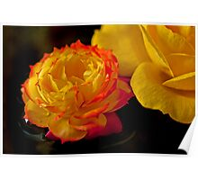Red-Tipped Yellow Rose Poster