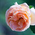 Peachy Rose by jayneeldred