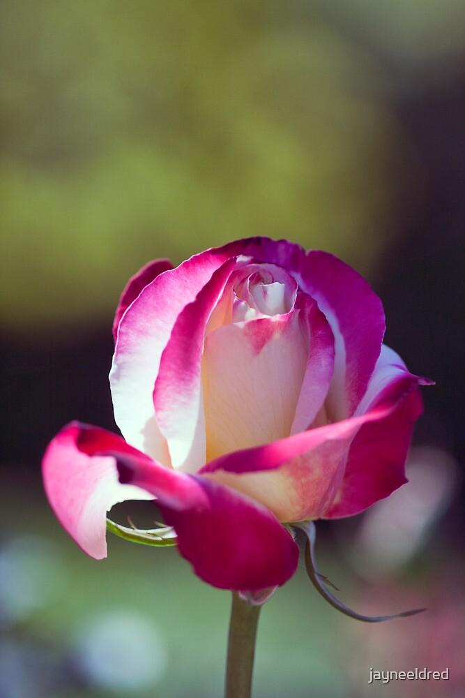 A Single Rose by jayneeldred
