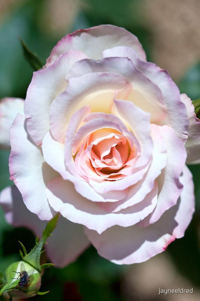 Delicate Rose by jayneeldred