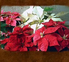 Mixed color Poinsettias 3 Blank P3F0 by Christopher Johnson