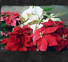 Mixed color Poinsettias 3 Blank P4F0 by Christopher Johnson