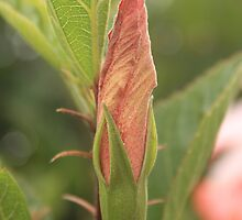 Hibiscus Bud by rhamm