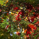 maple leaves on fir by Steven Ralser