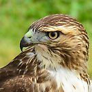 Fierce Gaze: Red-tailed Hawk by Nancy Barrett