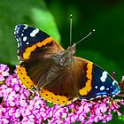Red Admiral  by Nancy Barrett