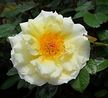 Floribunda Rose 'White Licorice' by Dency Kane