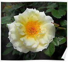 Floribunda Rose 'White Licorice' Poster