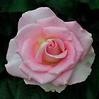 Hybrid Tea Rose 'Falling in Love' by Dency Kane
