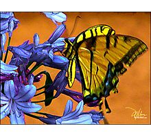 Yellow Butterfly On Agapanthus Photographic Print