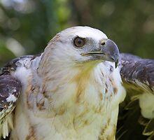 Young Fish Eagle by byronbackyard