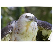 Young Fish Eagle Poster