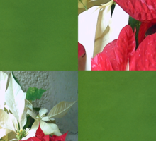 Mixed color Poinsettias 3 Blank Q5F0 Sticker