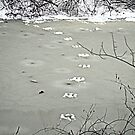 Tracks on a Frozen Creek. by Billlee